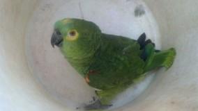 Filhotes de aves silvestres são resgatados em áreas urbanas de Uberlândia