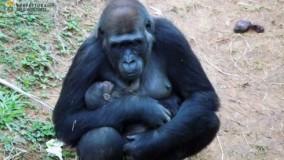 Bebê gorila a caminho: teste dá positivo para gravidez de Lou Lou