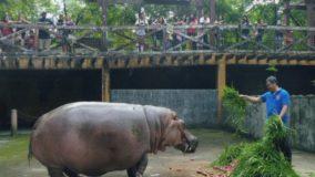 Bertha, a vovó dos hipopótamos, morre aos 65 anos nas Filipinas