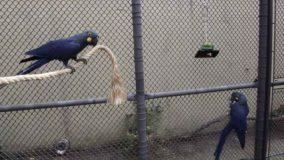 Zoológico de BH vai receber exemplares da arara-azul-de-lear para reprodução
