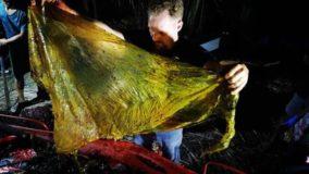 Encontrado 40 quilos de plástico em estômago de baleia morta