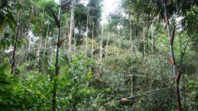 Espécies de bambu estão colocando em risco a floresta no sudoeste da Amazônia