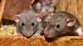 Província do Canadá consegue erradicar ratos