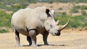Vietnã apreende 125 kg de chifres de rinoceronte