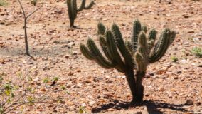 Conservação da caatinga é ameaçada pelo aumento da desertificação do semiárido brasileiro