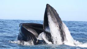 Casal de baleias retorna para costa da Irlanda 20 anos após ter sido monitorado