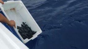 Para evitar contato com manchas de óleo, filhotes de tartarugas são soltos em alto-mar