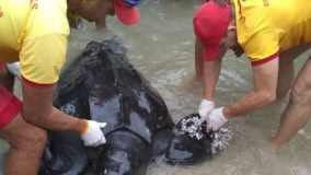 Tartaruga-gigante é resgatada com vida no litoral paulista