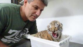 Filhotes de tigres siberianos nascem em zoo no interior de São Paulo