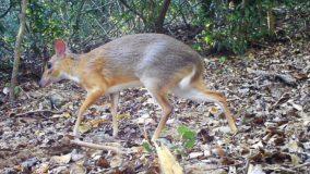 Espécie rara de cervo-rato que é 'redescoberta' depois de 30 anos no Vietnã