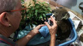 População de coalas em reserva australiana é dizimada por queimadas