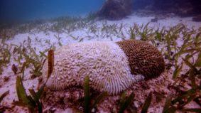 Doença rara ameaça os corais do Caribe mexicano
