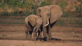 Banido internacionalmente o comércio de filhotes de elefantes