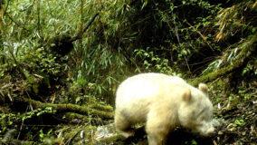 Panda albino é visto em reserva natural na China