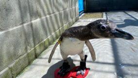 Pinguins em cativeiro ganham chinelos de proteção