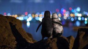 Foto de pinguins que parecem se confortar é premiada