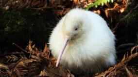 Morre kiwi branco que inspirou livros e brinquedos