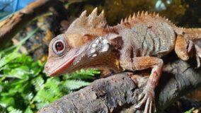 Lagarto fêmea vira macho e desenvolve testículos após pôr ovos na Austrália