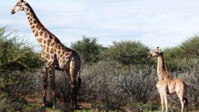 Girafas anãs são registradas na vida selvagem pela primeira vez