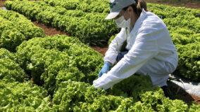 Sistema de baixo custo usa água de esgoto tratada para irrigar horta