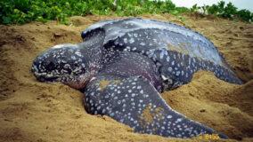 Tartaruga gigante em risco de extinção faz desova em praia paulista