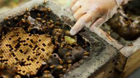 Manejo de abelha sem ferrão gera renda no Amazonas