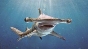 Espécie rara de tubarão-martelo é avistada no litoral paraibano