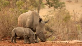 Santuários de conservação aumentam a população de rinocerontes