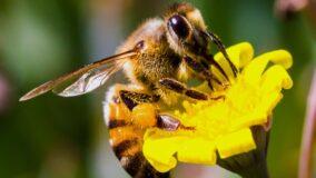 União Europeia proíbe pesticidas prejudiciais às abelhas