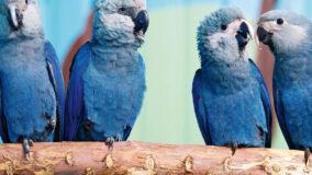 Filhotes de ararinhas-azuis nascem na Bahia após 20 anos de extinção