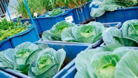 Horta no teto da IBM produz 600kg de alimentos em 6 meses